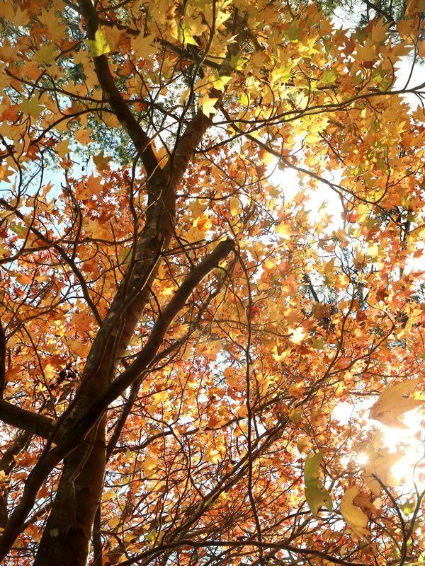 Ahorn (Maple): Relativ weiches Holz. Häufig im Instrumentenbau verwendet. Bild: Maricar Limjoco.