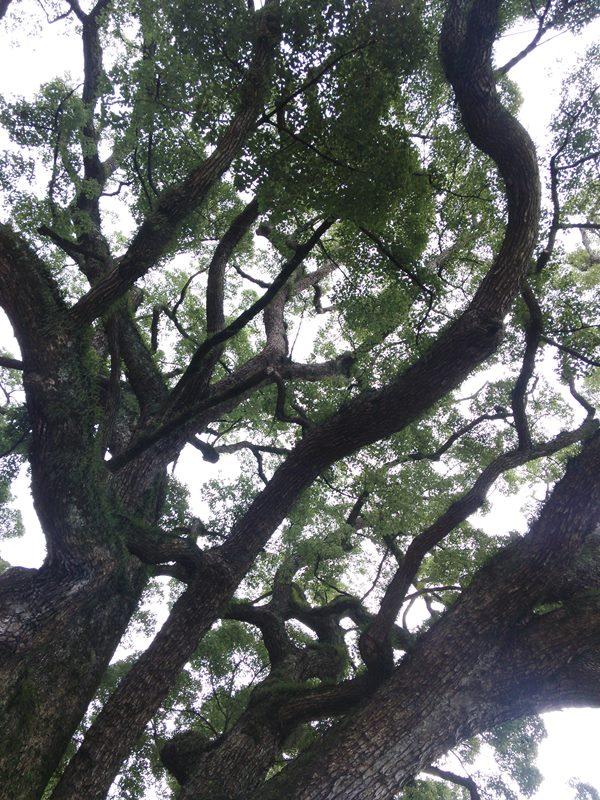 Eiche (Oak): Eines der härtesten Hölzer im Schlägelbau. Bild: Anotsu104.