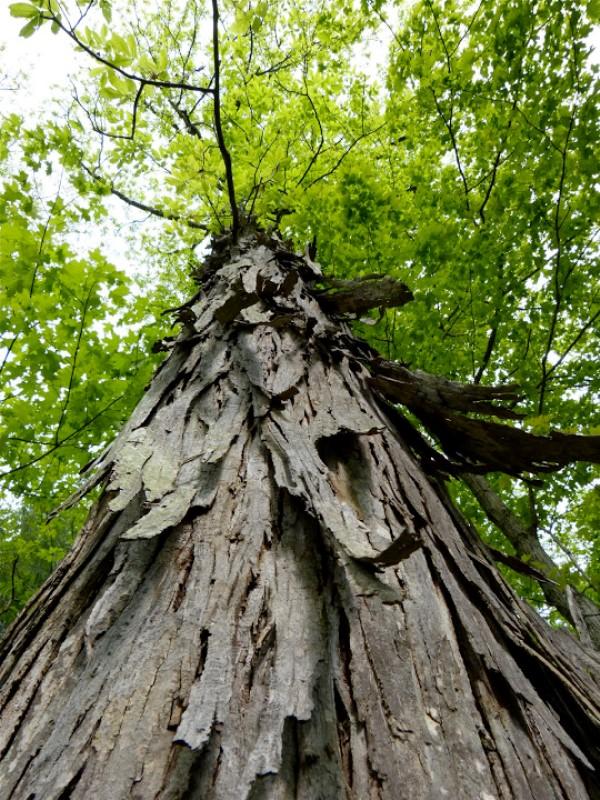 Hickory: Hartes Wallnussgewächs. Seit jeher für viele Arten von Stielen, Schlägern, Bogen und ähnliches verwendet.